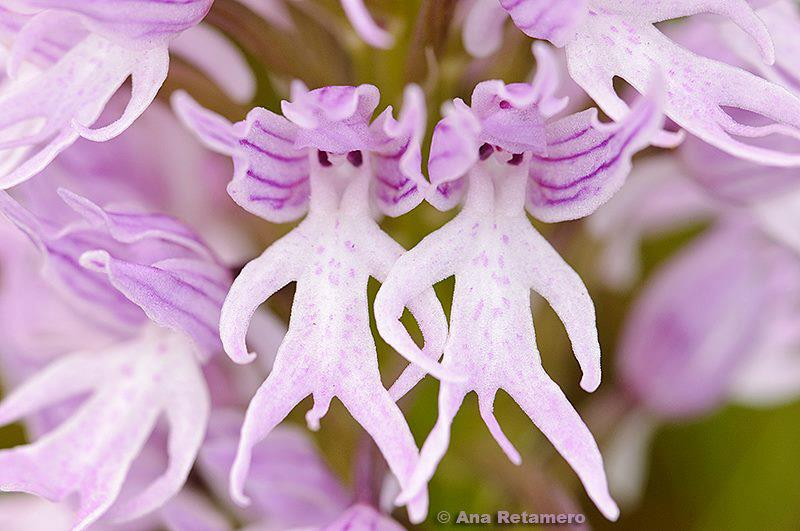 Naked man orchid.jpg